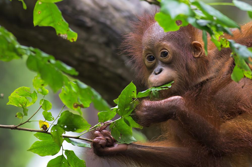 Travelbay_Borneo-Baby_orangutan